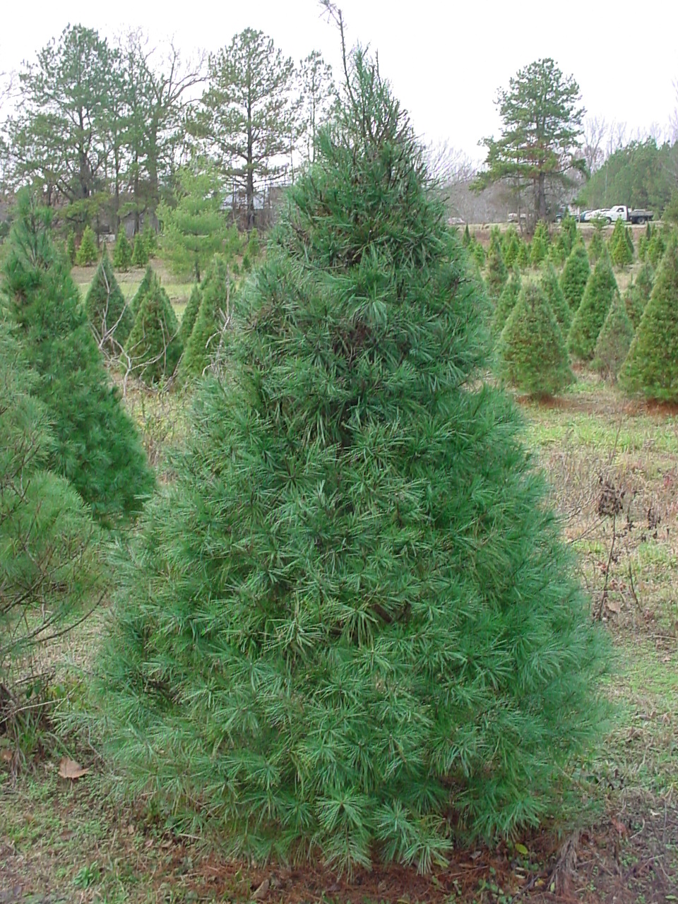 White Pine Tree Images & Pictures  Becuo